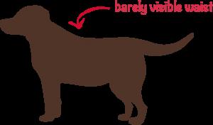 overweight-dog
